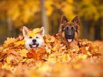 10 najboljih rasa pasa za ličnu zaštitu doma i porodice